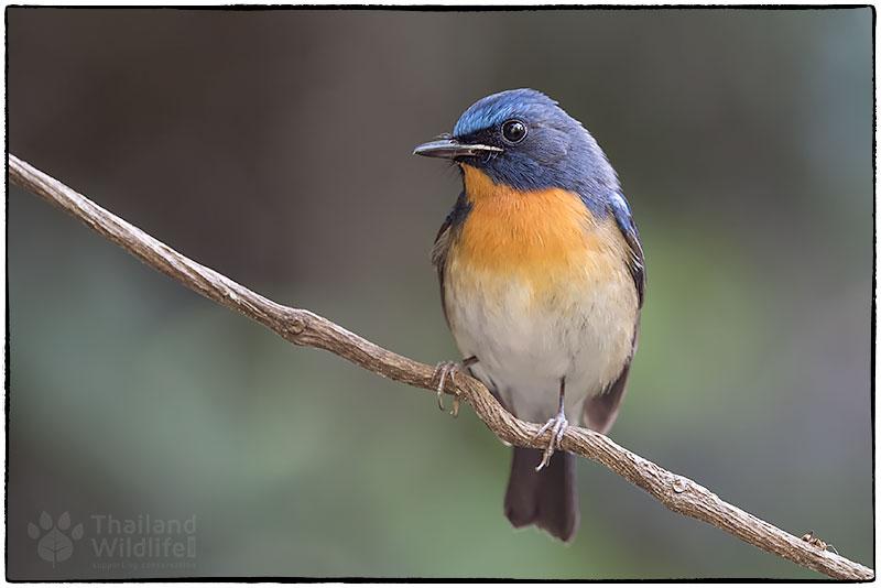 Tickells-blue-flycatcher-Cyornis-tickelliae-WTD4164-Edit.jpg