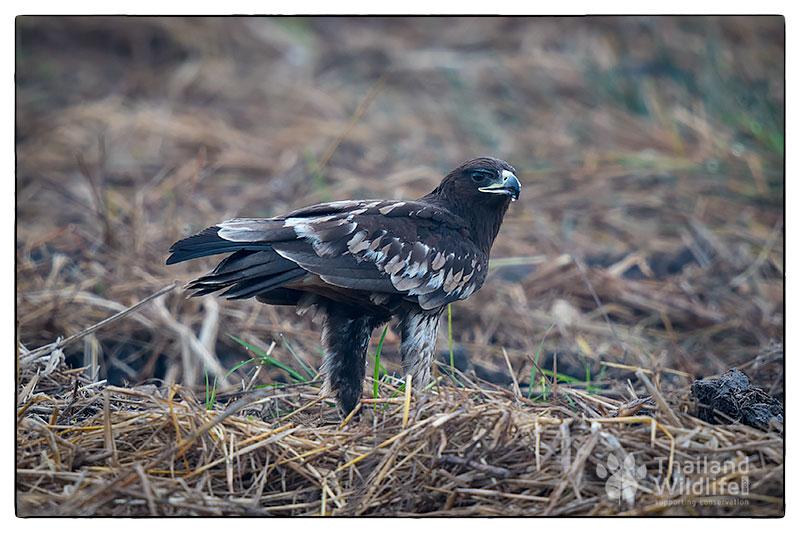 _3Black-eared-kite-Milvus-migrans-lineatus_-3.jpg