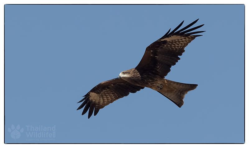 _4-Black-eared-kite-Milvus-migrans-lineatus_-4.jpg