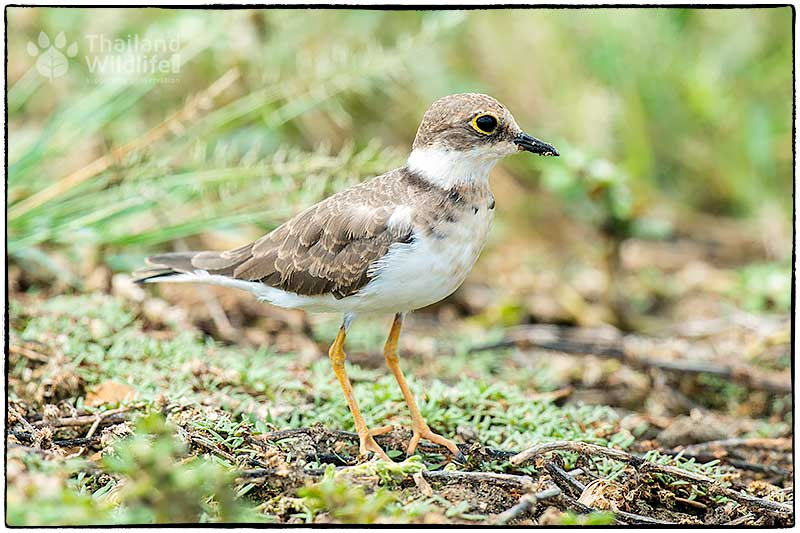another-plover.jpg