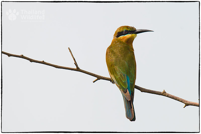 birdbeeeater.jpg