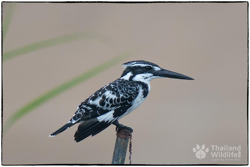 birdkfisherblack.jpg