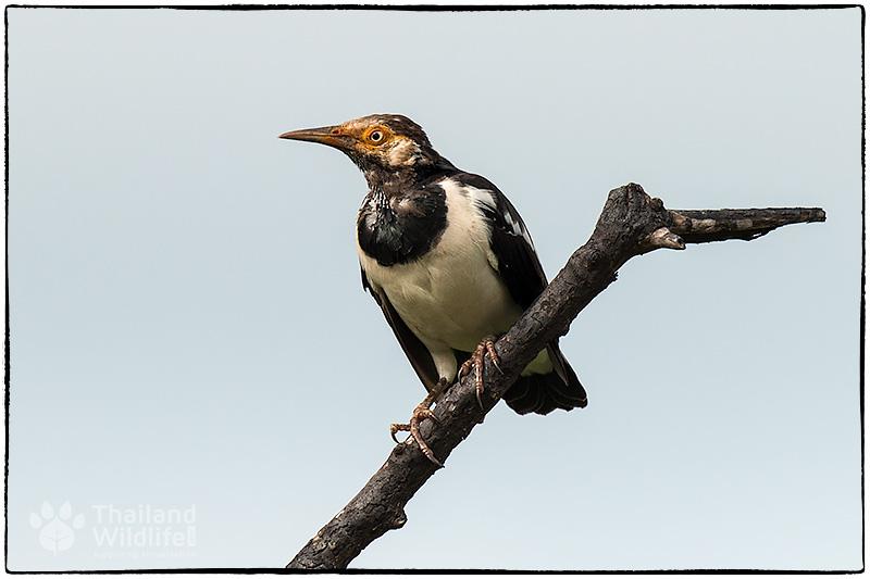 birdstarling.jpg