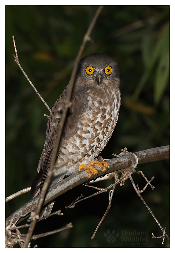 brown-hawk-owl.jpg