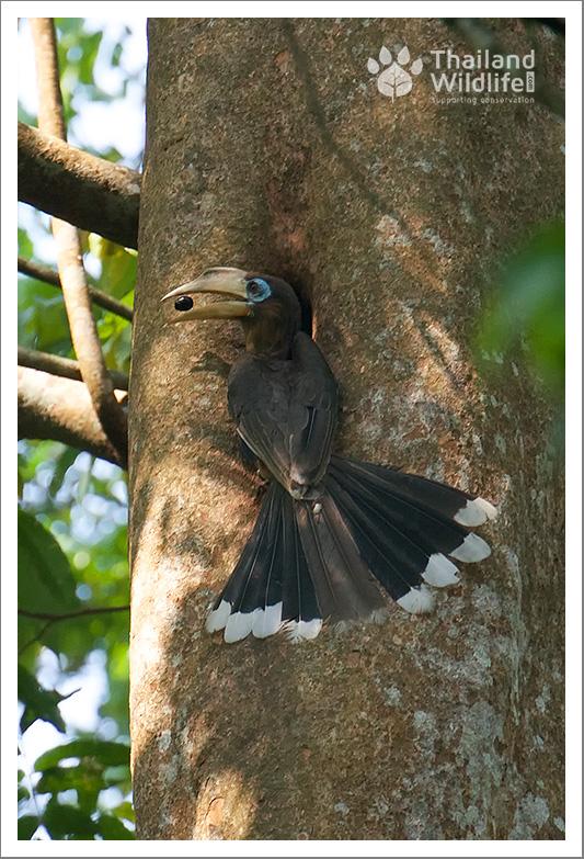 brown-hornbill.jpg