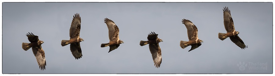 eastern-marsh-harrier-in-flight.jpg