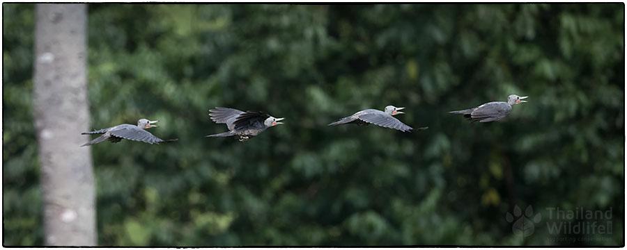 great-slatyback-woodpecker-430.jpg