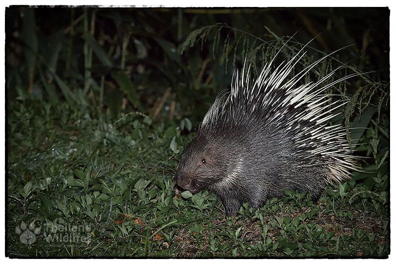 malayan-porcupine-panoenthung.jpg