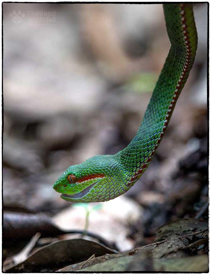 pit-viper.jpg