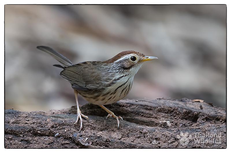warbler-kaeng-krachan_2016-11-19.jpg