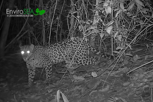 leopardthai.jpg