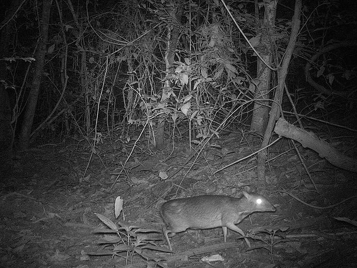 mouse-deer.jpg